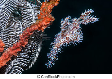 Ornate Ghost pipefishes next to a featherstar which they use...