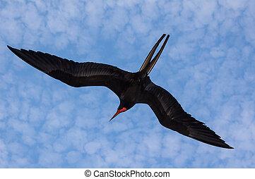 Magnificent frigate bird in flight - A flying frigate bird...
