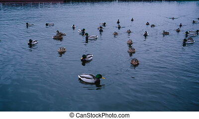 Many ducks swimming in the water.