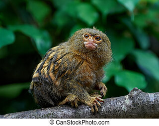 Pygmy marmoset Cebuella pygmaea - Pygmy marmoset sitting on...