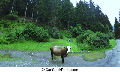 Cow in forest - In clearing in forest is cow Fly on...