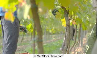 Wine Grape Harvest - Wine grape hanging from the tree, mid...