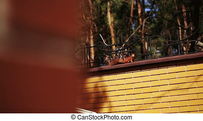 Squirrel on fence - In summer garden is sitting on fence and...