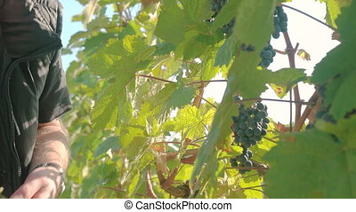 Wine Grape Harvest - Wine grape hanging from the tree, man...
