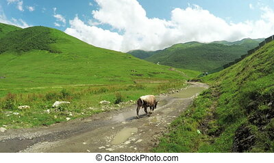 Cow in mountains - Without leash cow on mountain pasture