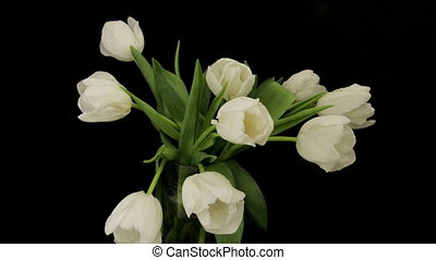 Time Lapse Opening Wite Tulips - White Tulips Opening Time...