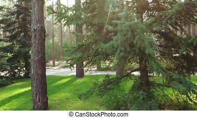Pine trees in park - Slow motion pines in recreation in...