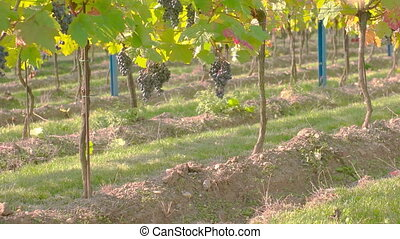 Wine Grape Harvest - Wine grapes hanging from the tree,...