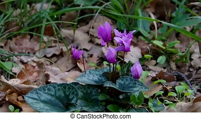 cyclamen in forest