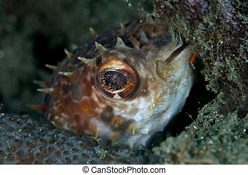 porcupine pufferfish - Diodon holacanthus, porcupine puffer...
