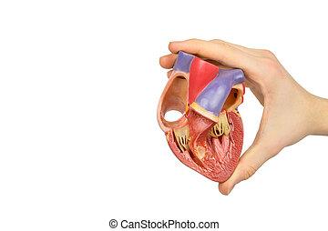 mano, tenencia, modelo, abierto, humano, corazón, en,...
