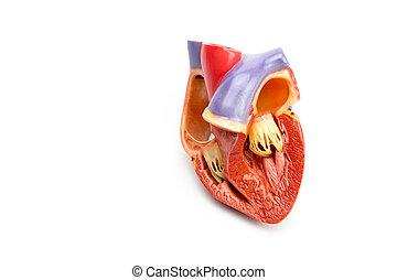 modelo, de, abierto, humano, corazón, aislado, en,...