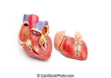 abierto, modelo, de, humano, corazón,...