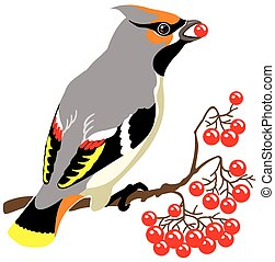 bohemian waxwing on a branch of rowan tree Image isolated on...