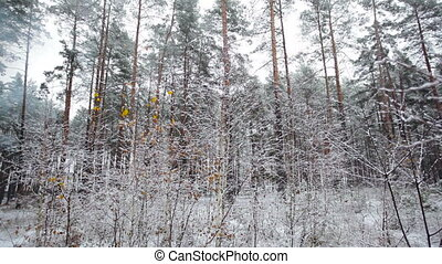 pine forest in winter and falling snow