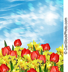 Spring Flowers of daffodils and tulips