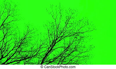 Naked Tree- Green Screen - Branches Of A Tree On Green...