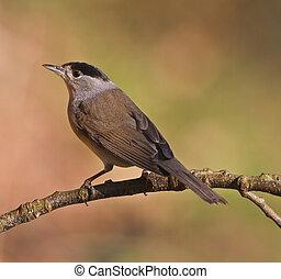 Blackcap, Sylvia atricapilla on a branch. Shallow depth of...