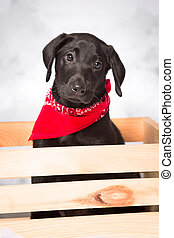 Black Lab Puppy in a Wooden Crate