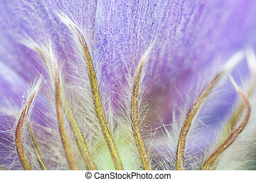 Hairy Crocus Close-up - Macro of a the hairs on a puple...