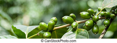 Green coffee beans with leaves on branch at a plantage in...