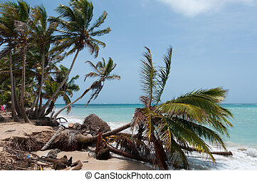 Fallen down Palm Tree in the wind on caribbean white sand...