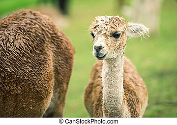 Baby Alpaca, also called Cria in a field during the day in...