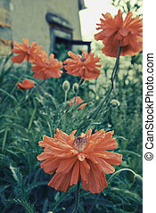 Papaver flowers - Red poppy flowers in the garden outdoor