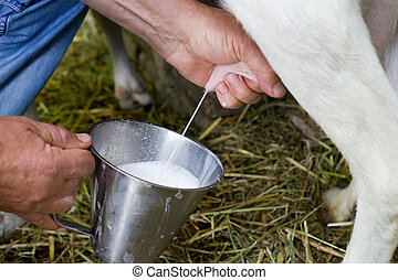 Goat milking - Close up of male hand pulls an udder of a...