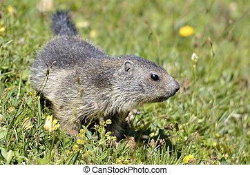 Young Alpine marmot in grass - Closeup young Alpine marmot...