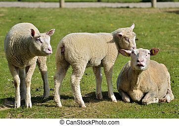 Sheep and lambs on grass - Sheep and two lambs Ovis aries on...