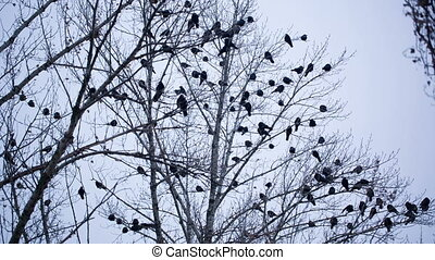 Ravens on Tree - bird on winter tree