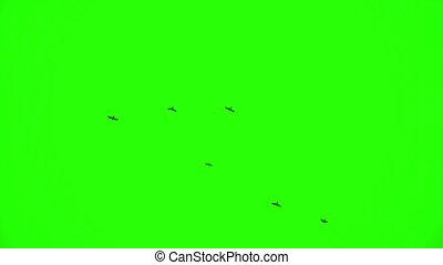 Flock of Ravens, Chroma Key - Flock of birds against green...
