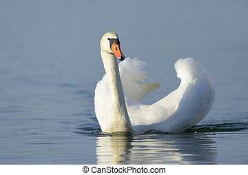 Mute swan Cygnus olor swimming in blue water with reflection...