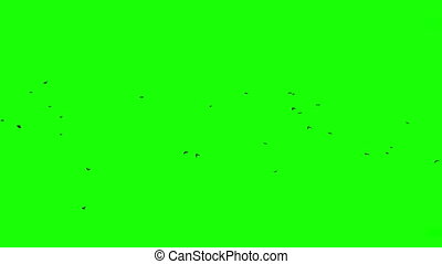 Flock of Ravens, Chroma Key - Flock of birds against green...