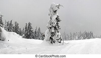 Single spruce on background fir forest in winter