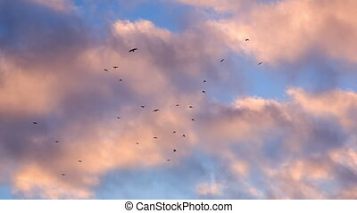 Crows Flying over the Pink Clouds - Flock of Birds against...