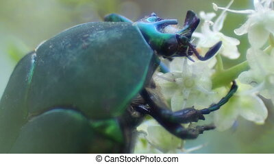 Green Bright Bug Feasting a Flower - Green bright bug,...