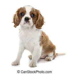 puppy cavalier king charles in front of white background