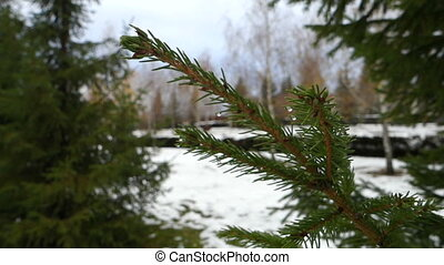 Fur-tree branch on snow background - Snowy cloudy Day on the...