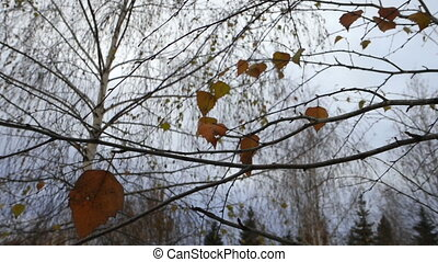 Birch leaves oscillate in the wind - Video treetops yellow...