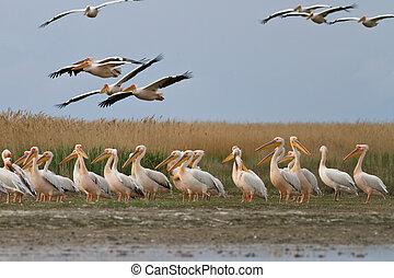 white pelican pelecanus onocrotalus in Danube Delta, Romania...