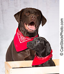 Two labs, chocolate and black lab wearing red bandannas -...
