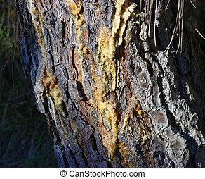 pine resin - deyail of pine resin in a meadow in la spezia