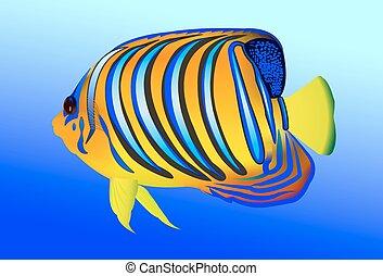 Royal angelfish (Pygoplites diacanthus)