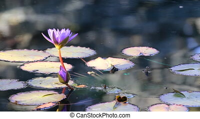 Water lily flower in the city park