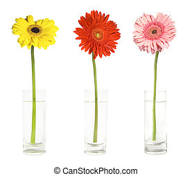 Three gerbers in vases - Gerbers in a glases isolated on...