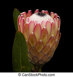Pink protea flower isolated on black background