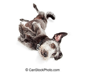 Terrier Dog Rolling Over - Cute terrier mixed breed dog...