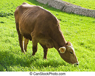 Cow eating in a green pasture. Apulia.